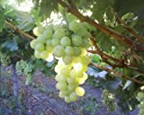 """(1 Gallon) THOMPSON Seedless Grape Vine, sweet excellent flavored""""White"""" Green Grape, large clusters on vigorous growing vines."""