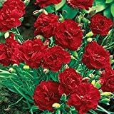 30+ Dianthus Scarlet Red Carnation Flower Seeds / Perennial