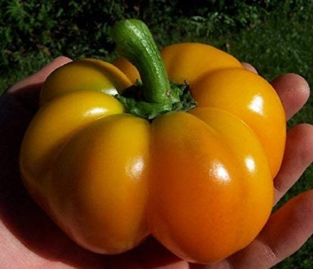 How to plant pimento bell pepper in a container
