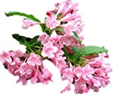 Pink Variegated Weigela - Healthy Established Roots - 1 Gallon Potted - 1 Plant by Growers Solution