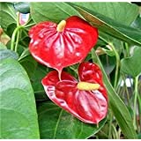 "Jmbamboo - Summer Special - Hawaiian Red Anthurium Plant 8 - 10 Inches in a 4"" Pot"