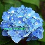 Hot Sale Light Blue Hydrangea Seeds balcony Bonsai Fort Viburnum Hydrangea Macrophylla Bonsai Plant Flower Seeds 100PCS Seeds