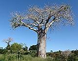 Special Adansonia Digitata - Baobab - Rare Tropical Plant Tree & Bonsai Seeds (5 Seeds)