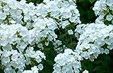3 Phlox paniculata 'David' Summer Phlox - WHITE (Plant/ Root) Now Shipping