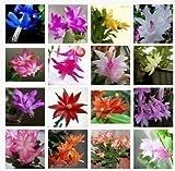 Zygocactus truncatus,Schlumbergera seeds,Indoor potted plants, green plants - 100 pcs seeds