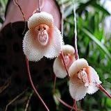INNI 200PCS Monkey Face Orchids Seeds Multiple Varieties Plants Garden Bonsai Flower