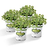 Bonnie Plants Italian Oregano Live Herb Plants - 4 Pack | Perennial In Zones 5 to 10 | Major Ingredient In Italian Cuisine