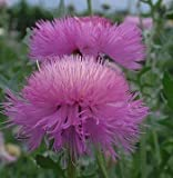 Centaurea macrocephala Knapweed Starthistle Pink Basket Flower 15 seeds