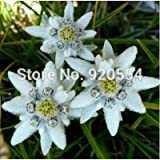 Imported seed,10pcs/lot Edelweiss (Leontopodium alpinum)seed flower seed bonsai plant DIY home garden