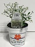 Romence Gardens & Greenhouses Proven Winners Euphorbia 'Diamond Frost', Live Plant