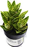 """Tiger Tooth 'Juvenna' Aloe Succulent / 2"""" Pot/Live Home and Garden Plants"""