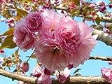 1 Kwanzan Flowering Cherry Tree