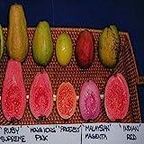 GUAVA PSIDIUM Guajava 5 different variety mix 100 or 1000+ seeds
