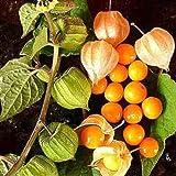 CAPE GOOSEBERRY 250 SEEDS Medicinal Heirloom Physalis peruviana Rare USA Seller