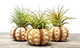 aura creations 3 pcs Sputnick Sea Urchin Air Plant...