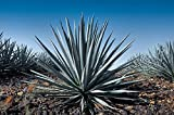 Agave tequiliana - Weber's blue agave - One Gallon size