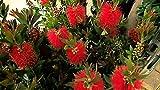 1000 Callistemon citrinus, Crimson Bottlebrush Seeds, Red Bottlebrush Tree Seeds