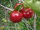 Malphigia Glabra - Acerola Barbados Cherry - Rare Exotic Tropical Tree Seeds (5)