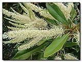 WHITE OAK (Grevillea baileyana) 10 seeds