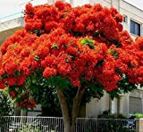delonix regia Flame of The Forest Tree - Bonsai 10 Seeds