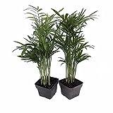 """Victorian Parlor Palm 2 Plants - Chamaedorea - Indestructable - 3"""" Pots"""