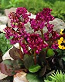 BERGENIA SEEDS-RED-A.K.A. Heart Leaf Bergenia Pig Squeak,Winter hardy to zone 3(10 Seeds)