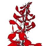 Cardinal Flower Lobelia cardinalis LIVE PLANT red flower splendens garden