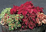 COLEUS SEEDS -SUPERFINE RAINBOW ,semi-dwarf ,Mix well ,Great for shaded area.(100 Seeds)