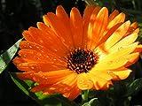 Calendula Officinalis Pot English Marigold Orange Golden Heirloom 250 Seeds