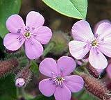 Soapwort Perennial - Saponaria Ocymoides - Quart Pot