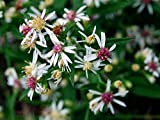 500 Lady in Black Calico Aster Flower Seeds Tklucky