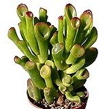 """ET Fingers Cactus -Crassula portulacea v. gollum - RARE - 1.75"""" Pot"""