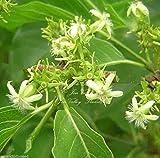 Vangueria Meyna Spinosa Small Tree Tropical Shrub Seeds Bonsai or Standard Rare