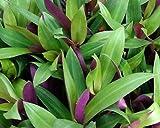 Tradescantia spathacea 15cm plant