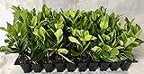 Viburnum Suspensum Qty 20 Live Plants Evergreen Privacy Hedge