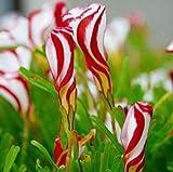 25PCS Oxalis Versicolor Flower Candy Cane Seeds F75, Semillas Garden Flower