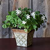 Easy to Grow Oxalis Regnelli Bulbs Gift Kit Pre-Planted in Metal Roman Flair Pot Container | Blooms in 6-8 Weeks Grows Anywhere Indoors