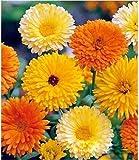 """Organic Flower seeds Calendula """"MIX"""" (Calendula officinalis) Pot Marigold."""