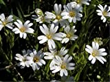 Stitchwort (Minuartia Laricifolia L.) Flower Plant Seeds, Perennial White Heirloom