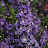 HEIRLOOM NON GMO Blue Angelonia 10 seeds