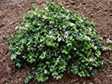 1 Strater Plant of Loropetalum Chinense 'Snowmuffin' 11766