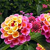 New Rare Hierloom Pink Yellow Lantana Camara Perennial Flowers, 10 Seeds, 'Christine' Shrub Verbenas Ham And Eggs Butterfly Garden E3802