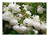 Erica formosa - heath - 15 seeds