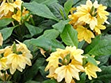 Crossandra Seeds -Yellow Splash - Firecracker Flower- Very Rare Tropical Plant(15 Seeds)