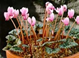 Cyclamen Hederifolium *Giant Bulbs* (2 in pack)