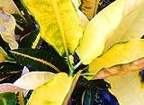 BUDDY Rare Old Heirloom Collectors Croton Live Plant Codiaeum variegatum Bright Yellow Green Dark Red Starter Size 4 Inch Pot Emerald TM