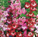 PENSTEMON HARTWEGII SENSATION MIX FRESH FLOWER SEEDS - Flower seeds (40)