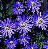 (5) Anemone Blanda Blue Shades, Beautiful Flowers, Blooming Sized Bulbs, Easy to grow
