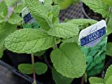 """Clovers Garden Apple Mint Plant- Two (2) Live Plants - Not Seeds -Each 4""""-7"""" Tall - In 3.5 Inch Pots"""