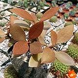 Kalanchoe orgyalis Cactus Cacti Succulent Real Live Plant